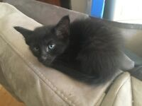 Half Siamese black kitten for sale.