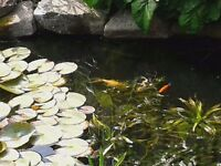 FREE POND FISH to good home