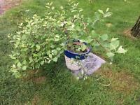 Beautiful miniature/dwarf willow tree