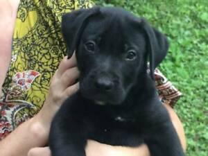 Pure Bred Mastiff X Puppies