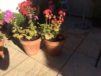 Geranium plant and pot