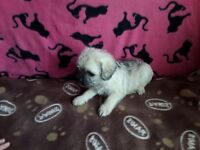 Pug x toy poodle pups