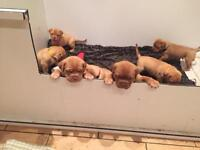 DOGUE DE BORDEAUX PUPS FOR SALE