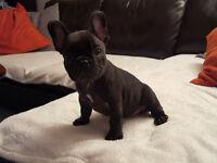 Kc French Bulldog Puppies Blue Girl