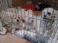 Beautiful Bichon Frise puppies ready now