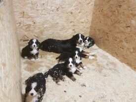 Bernese Mountain Dog Puppies / Pups **ONLY 2 LEFT**