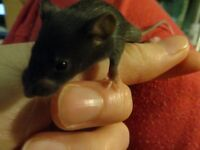 2 sister mice for sale