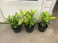 Garden plants: Aucuba Japonica. Collect from Fulham