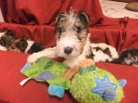 pups for sale wire fox terriers male and female