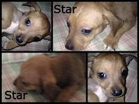 Cross Staffordshire Terrier Puppy