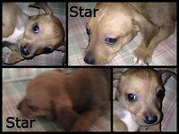 Cross Staffordshire Terrier Puppy