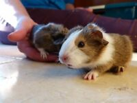 Beautiful Girl Baby Guinea Pigs!