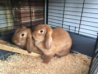 Two Female Minilop Rabbits with indoor cage