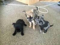 Pug x chihuahua puppys