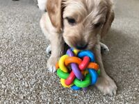 Apricot Cockapoo Puppies for sale