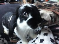 2baby small buns vaced spayed chiped free dbl hutch 10kg food hay toys woodchip 100 2day only