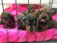 Dachshund puppies dapple and brindle