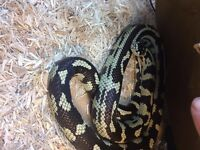 king snake with vivarium and all assessories