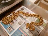 Cb15 0.1 mochino retic python reticulated python
