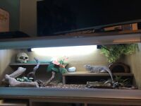 Male Bearded Dragon with Full Set Up