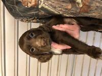 Beautiful Kc Reg Cocker Spaniel Puppies