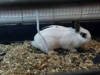 Free 10 months dwarf rabbit