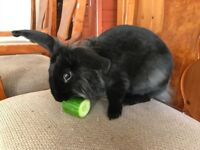Fluffy bunny needs a home - free!