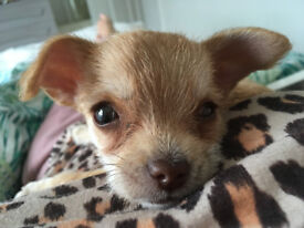 Gorgeous Chihuahua x Bichon Frise Girl Puppy -fully vaccinated,mc,wormed\flea