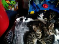 Kittens for sale. Lovely bundles of fun only 3 left, 2 tabbys and black n white. Weaned and handled.