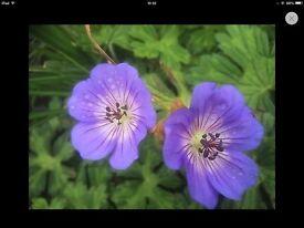 Geranium Johnsons Blue plant