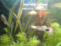 Free Live tropical fish guppiess , assorted colours ans sizes baby to fully gtown