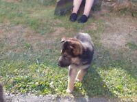 German Sheperd Pup