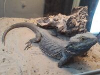 Bearded dragon with tank & accessories