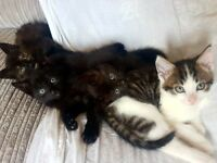 4 Beautiful Female Kittens for sale