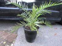 Palm Tree and 10 Additional Garden Plants Weymouth