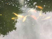 Fish plus pond, full set up.