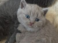 British short hair kittens Gccf registered none active blues and lilac