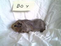 Baby guinea pig 4 boys