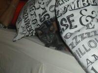 Beautiful Grey Female Kitten for Sale