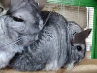 Two Chinchillas and cage, equipment and food etc