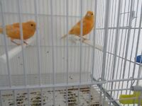 RED FACTOR CANARY CHICKS FOR SALE
