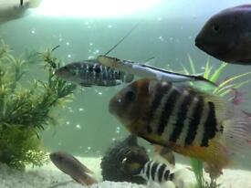 South American fish