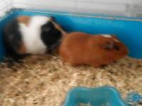 two guinea pigs for sale