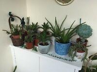 Various cactus + aloe Vera plants + Christmas cactus Home garden plants