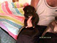 collie x german sheperd puppies 1 boy 1 girl 8 weeks old