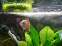Dwarf Gourami Male and female pair