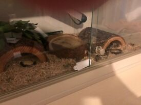 Corn Snake For Sale