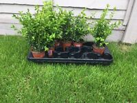 Eight box hedging plants