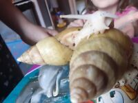 GiantnAfrican land snails with tank heat mat and lightning