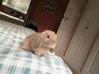 Baby dwarf lop bunny